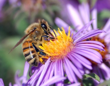 Close up of bee on purple aster flower.